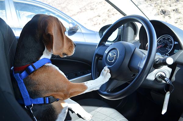 Beagle driving a car