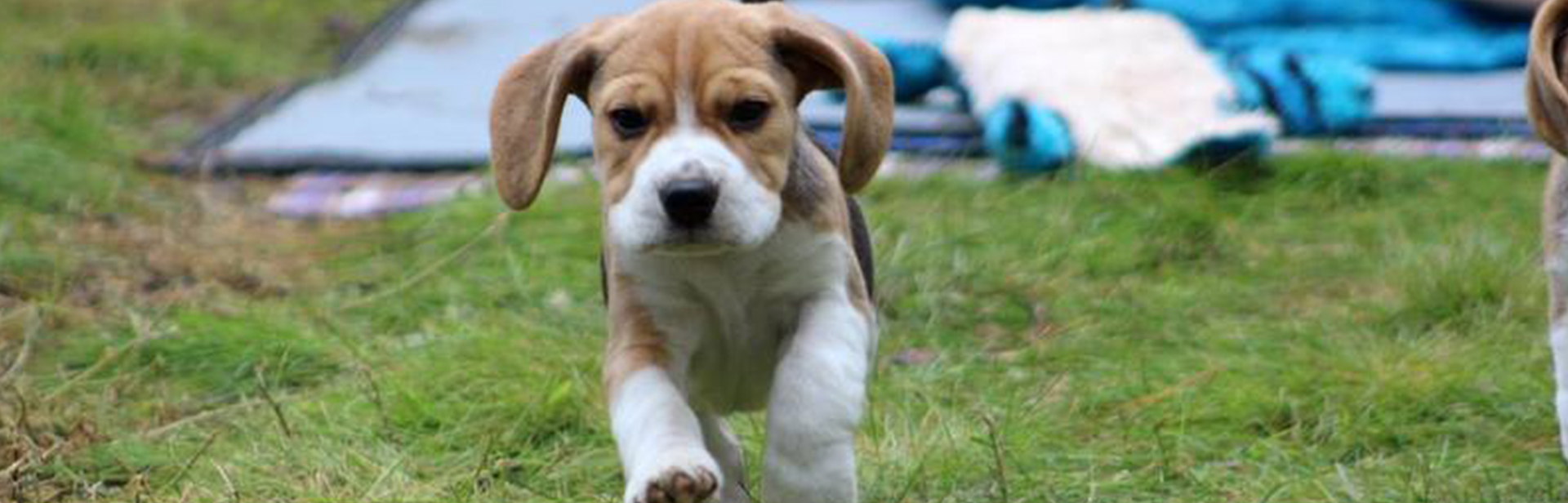Beagle puppy running