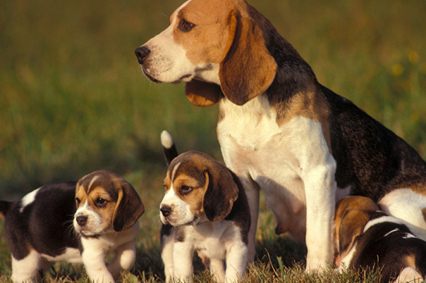 Image of a beagle and puppies