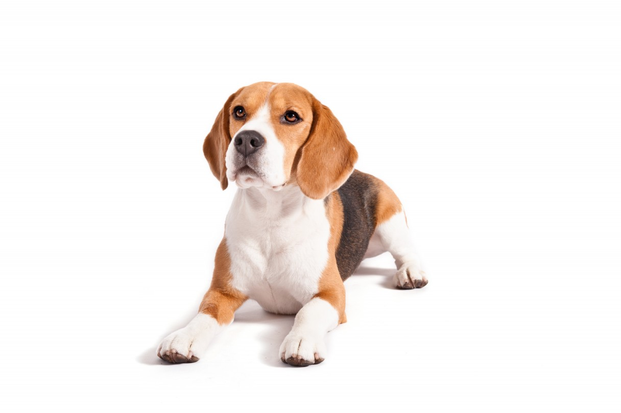 Beagle_Who_Me