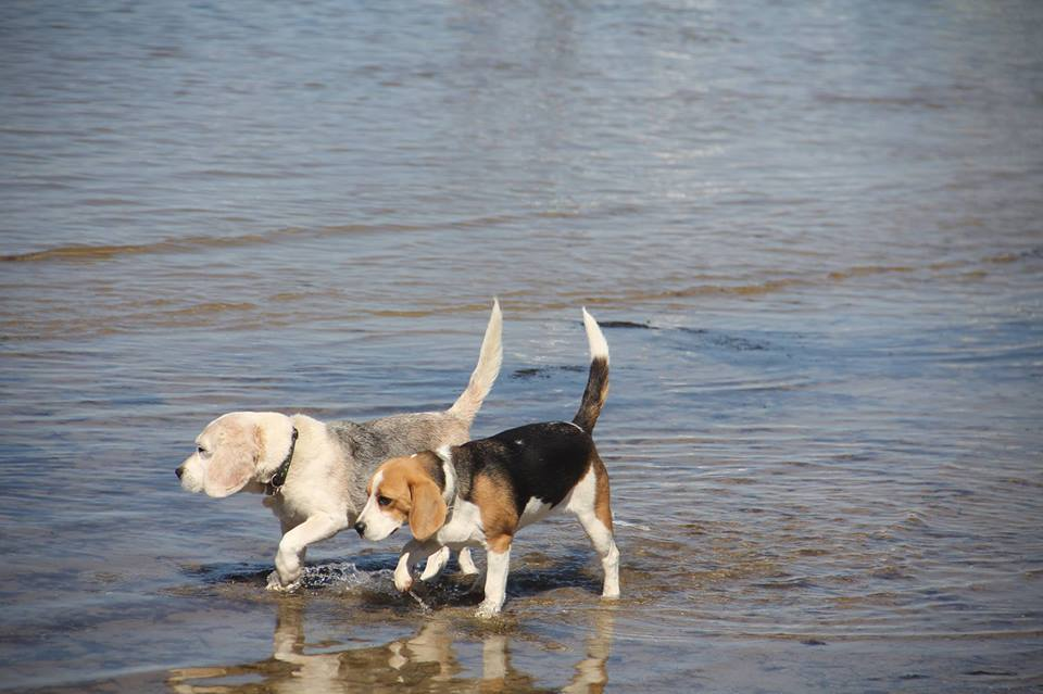 Beagles, water, beach, brighton, dog beach, off leash, melbourne, victoria, australia
