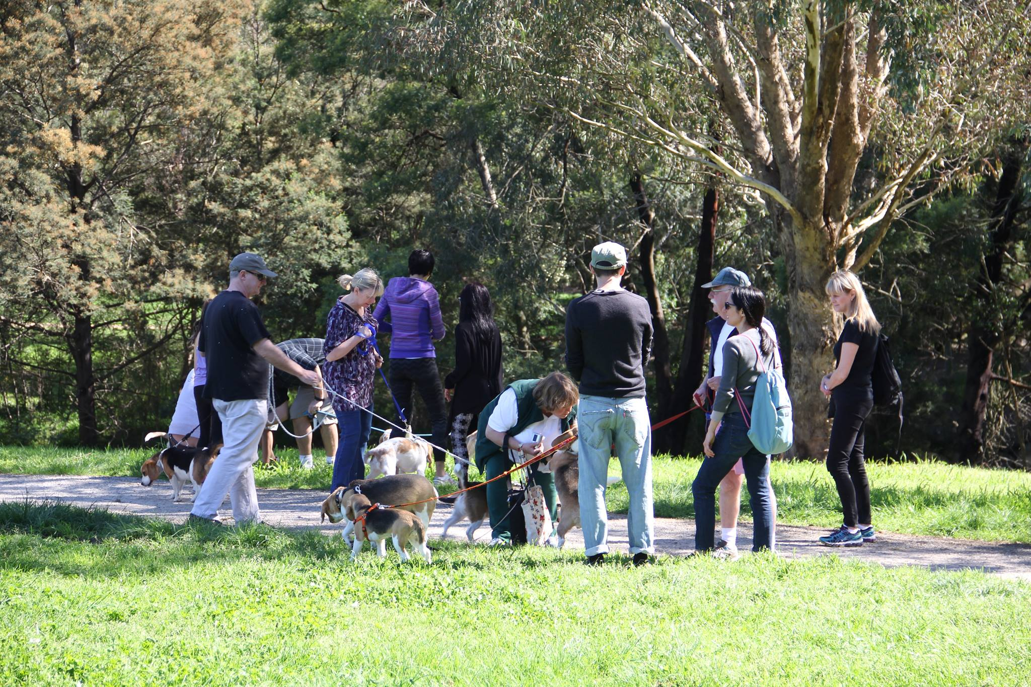 Beagles and families at Gardiners Creek Trail