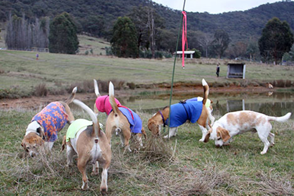 Beagles scent hunting on a farm in Victoria