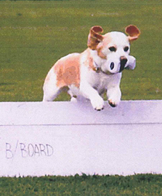 Beagle jumping in an agility course