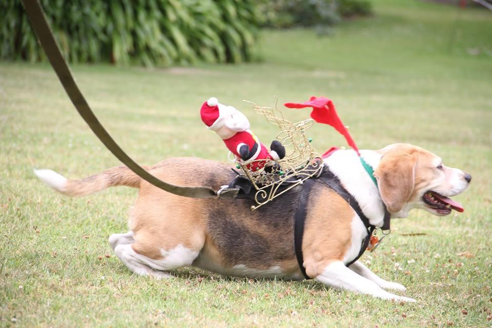 Beagle Christmas Party