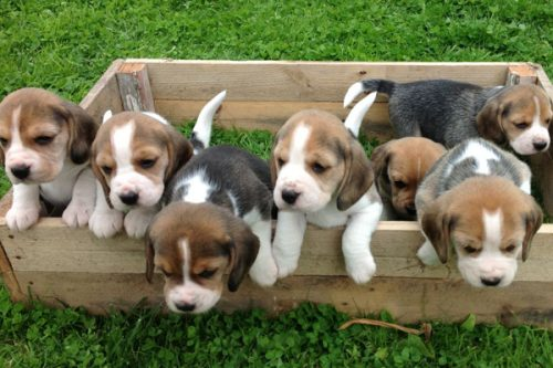 Beagle puppies in a litter