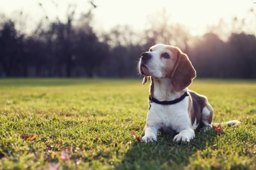 Beagle on the grass