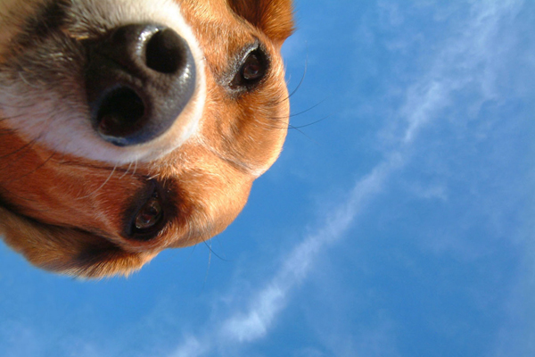 Beagle looking into camera lens with blue sky background