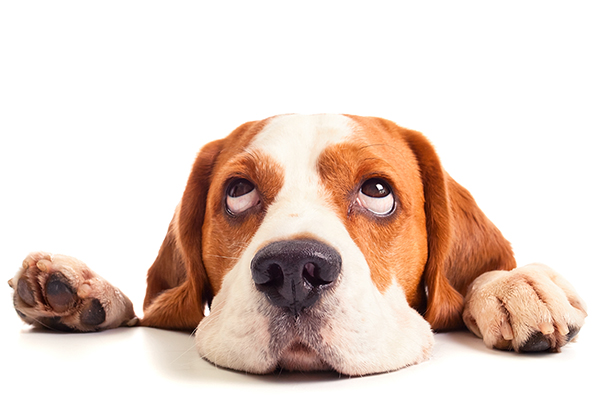 Club donation - Beagle resting head on a table with a white background